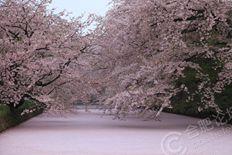 落樱缤纷 樱花逆流成河